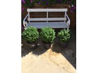 3 Outdoor Plants - Box/Buxus. Collect from Fulham