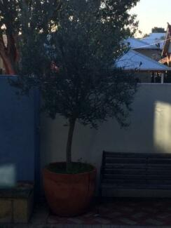 Olive Trees  Established 8 Foot tall  in terracotta pots Nedlands Nedlands Area Preview