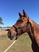 ALLROUNDER QHx MARE Crows Nest Toowoomba Surrounds Preview
