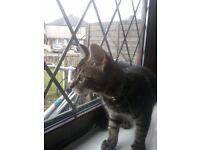 Male kitten nearly 16 weeks (Tommie)