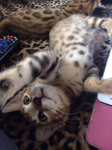 REDUCED- TICA registered brown Bengal male /poss breeding rights