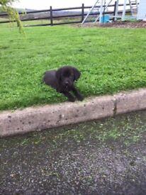 Labrador x Retriever Pups