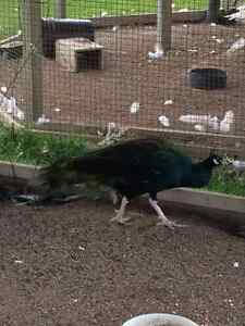 Peacocks & Pheasants Kitchener / Waterloo Kitchener Area image 2
