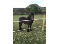REGISTERED YEARLING FELL COLT FOR SALE
