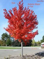 Large Mature Autumn Blaze Maples