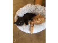 Beautiful part Maine Coon fluffy kittens for sale - £200/£250