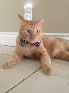 Lost Cat.  Male tabby with kink in tail.