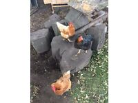 3 x chickens