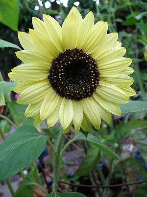 "Lemon Queen Sunflower ""Helianthus Annuus"" 50 Seeds"