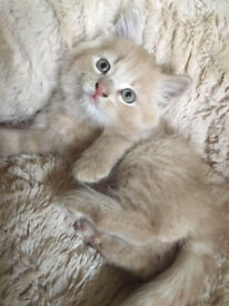 British Shorthair X Maine Coon kittens *last two, microchipped and vaccinated*