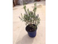 Large Rosemary plant. Collect from Fulham