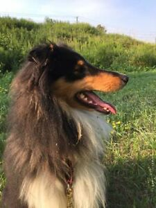"Young Male Dog - Collie: ""Murphy"""