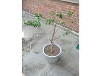 Sweet Cherry plant