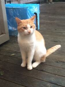 Lost orange and white cat, Douglas Avenue - STILL MISSING