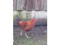 ROOSTERS FOR SALE
