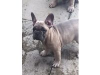 5 KC French Bulldog Tri carriers stunning colours