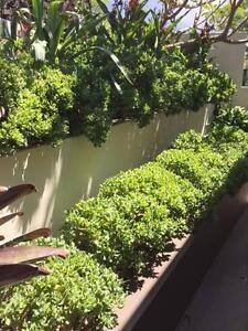 Succulent - MAC COOK Mosman Mosman Area Preview
