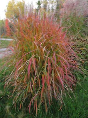 Miscanthus sinensis Purpurascens MAIDEN GRASS Seeds!