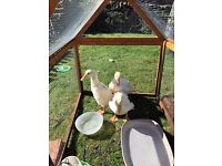 Trio of white Campbell ducks for sale