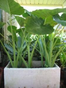 Potted mature edible elephant ear plants