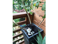 MISSING! Black and White kitten - 8 months old