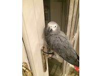 AFRICAN GREY PARROT MISSING LAST SEEN CODDINGTON NEWARK 9TH JUNE