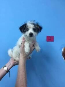 Mini Foxi / Maltese X Male Pup only $495. Enoggera Brisbane North West Preview