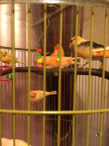 Young canaries for sale - males and females