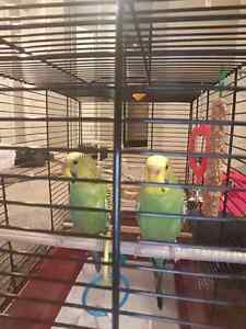 2 Budgies and 2 Parakeet