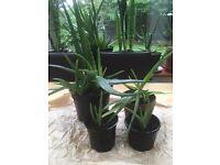Beautiful Aloe Vera Plants - Various Sizes £2 - £15