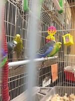 "Adult  Bird - Parakeet (Other): ""Two pairs of budgies!"""