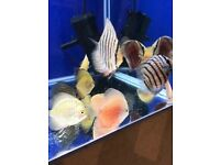 Premium Discus for sale 5cm - 9cm *OFFER PRICE* available live tropical fish