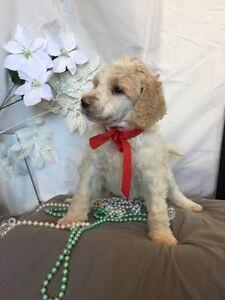 Standard Poodle Puppies - CKC Registered