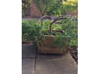 MATURE ACER TREE IN WOODEN PLANTER