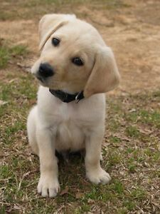 Looking for a Yellow Labrador (or cross)