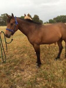 QH mare Bay 4 years old 15 hands Benalla Benalla Area Preview