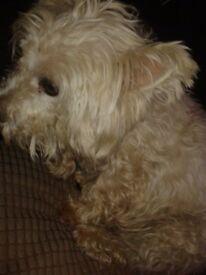 Cheap!! Beautiful west highland terrier girl !
