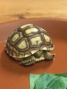 Baby Sulcata Tortoise with enclosure and accessories.