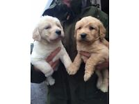 Gorgeous Litter F1 Labradoodles