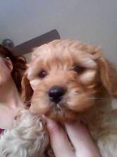 Cavoodle puppies First Generation boys Hepburn Area Preview