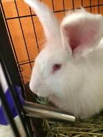 """Young Male Rabbit - New Zealand: """"Charlie"""""""