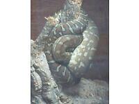 Bredls Python for sale