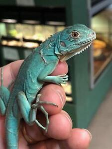 iguana kijiji in ontario buy sell save with canada s 1