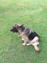 German Shepard to give away. Morayfield Caboolture Area Preview