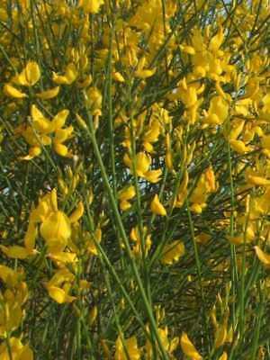 Pianta di Ginestra cespuglio ginestra spartium junceum giardino vaso 14