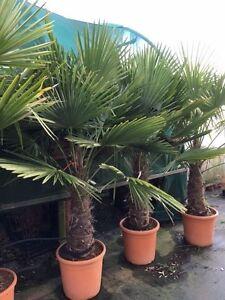 Large Trachycarpus fortunei 60-80cm trunk 2m tall Hardy Palm