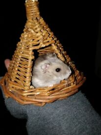5 baby hamsters for sale