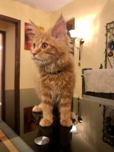 KITTENS, MAINE COON , pure breed