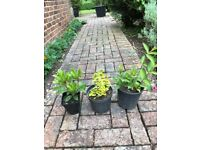 3 outdoor plants (Skimmia, Euonymus, Hebe red). Collect from Fulham