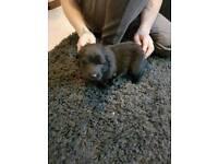 Last girl!! (German shepherd) straight back long coat teddy bear puppy